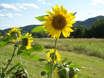 Sun Flowers at Brown Boar Farm